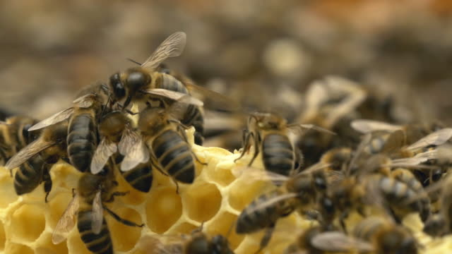 Bees at the honeycomb