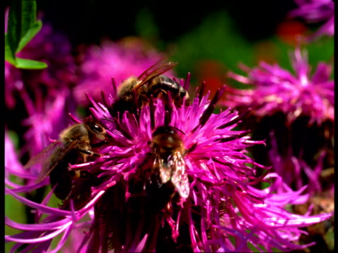 Bees collect pollen from a pink flower.