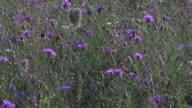 Bees flying around lavender flowers in garden