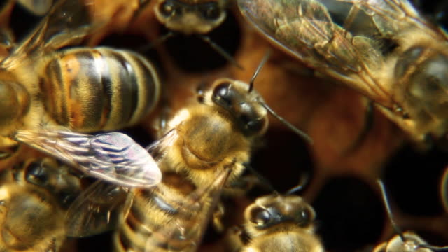 Bees on honeycomb - HD