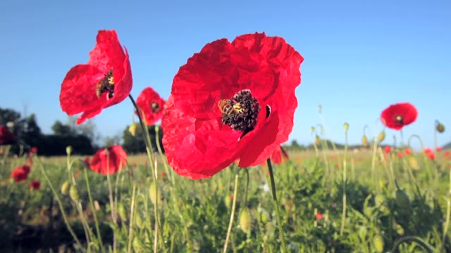 Bees on poppies flowers