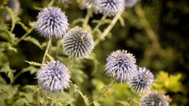Bees pollinating on globe thistles