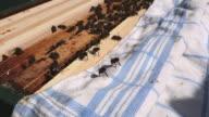 Bees spreading pheromones