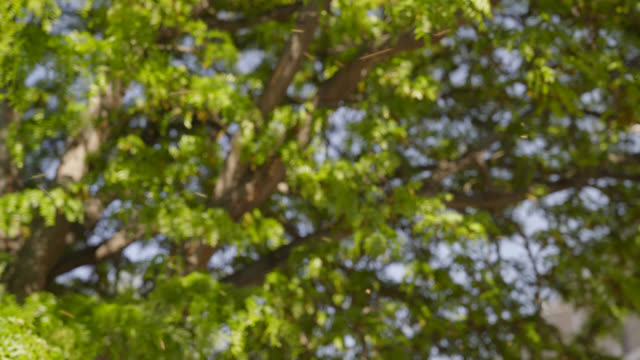 Bienen schwärmen im Baum - Close Up
