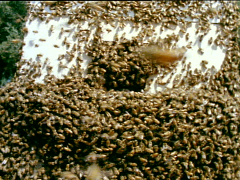 Bees swarming all over outside of manmade wooden box hive TU WS Bees flying in air near hive MS Bees clustering on plant branch
