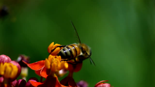 Bees take off from a flower after pollination. Available in HD.