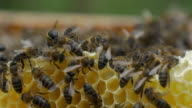 Bees working at the honeycomb
