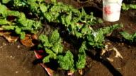 MCU beetroot plants growing on farm, KwaZulu Natal, South Africa
