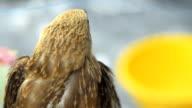 behind view : Brahminy kite chick is looking