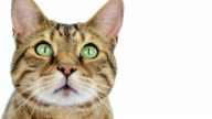 Bengal cat close-up on white background