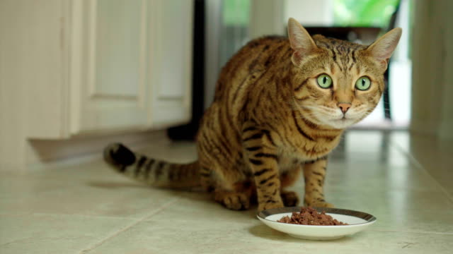 4K Bengal cat eating canned food - stock video