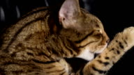 Bengal cat licking his paw - stock video