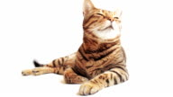 HD Bengal cat lying on the white background looking around