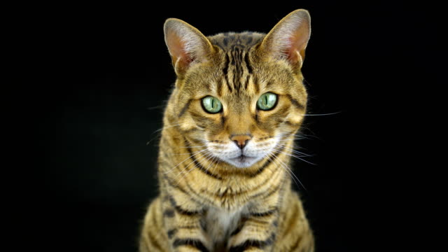 4K Bengal Cat on Black Background