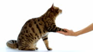 Bengal cat shaking hand with people