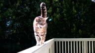 4K Bengal cat walking - stock video