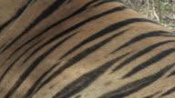 ECU Bengal tiger (Panthera tigris tigris) / Bandhavgarh Tiger Reserve, Madhya Pradesh, India
