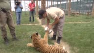 Bengal tiger cub plays with ball as an exercise after having an operation from his paws at Kayseri Metropolitan Municipality Wonderland Zoo in...