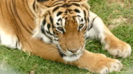 4K Bengal tiger lying down and resting