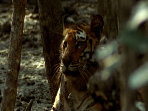 MCU Bengal tiger lying in mangrove swamp, shakes flies from face and yawns, India