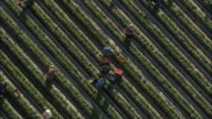 AERIAL ZO Berry farm workers picking and tending strawberries, Stellenbosch, Western Cape, South Africa