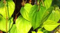 Betel Leaves Watering