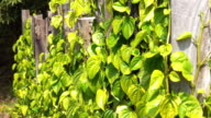 Betel Leaves With Super Zoom Effect