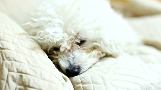 Bichon Frise resting in bed