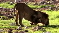 Big African Lion