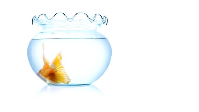 Big goldfish in small fishbowl