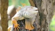 Big Leguan sitzt auf einem tree branch, Nahaufnahme