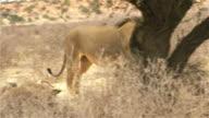 Big Kalahari Lion