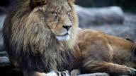 Große männliche Löwe.