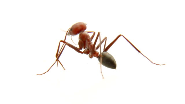Big red ant is cleaning itself