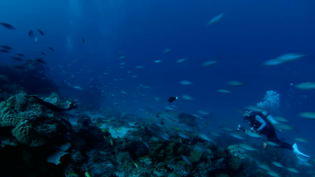 Big school of fusiliers swimming fast through coral reef