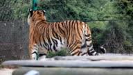 Big tiger.