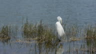 Big White Bird Preening With Copy Space