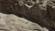 Bighorn Ewe walks on cliff