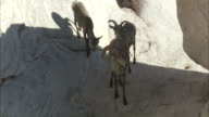 Bighorn Sheep family stand in shadow