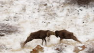 MS Bighorn sheep rams (Ovis canadensis) butting heads on a snow covered hillside during the December rut
