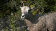 CU PAN Bighorn sheep (Ovis canadensis), Waterton Lakes National Park, Alberta, Canada