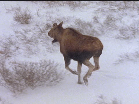 Biologists in a helicopter chase moose with dart guns across the Alaskan tundra