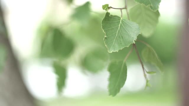 CLOSE UP SELECTIVE FOCUS Birch leaves swaying on breeze