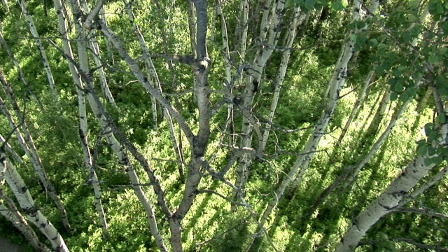 Birch tree trunks stand in contrast against the surrounding greenery. Available in HD.