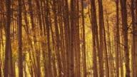 Birch tree wooded area in autumn, Utah