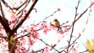 Bird and Wild Himalayan cherry