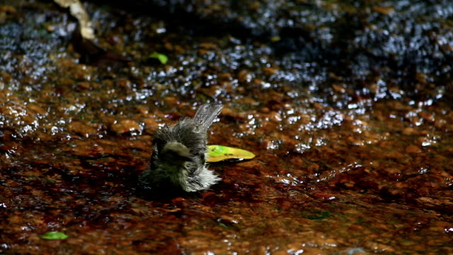 Bird bathing in stream with water droplets in the forest