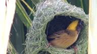 HD: bird build nest on tree