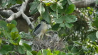 Bird (Black-crowned night heron) caring flapper in a nest on tree.