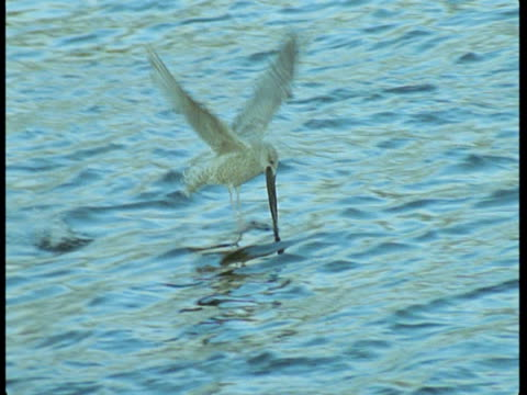 A bird carries a dead fish over the water and then drops it.
